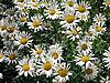 다양 한 흰색 chamomiles와 배경 | Stock Foto