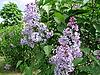 꽃이 만발한 라일락 브러쉬 | Stock Foto
