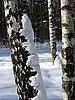 ID 3010705 | Birken im Schnee | Foto mit hoher Auflösung | CLIPARTO