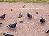 ID 3010940 | Городские птицы | Фото большого размера | CLIPARTO
