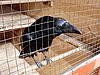 ID 3010946 | 黑乌鸦笼 | 高分辨率照片 | CLIPARTO