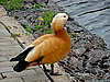 ID 3010975 | Orangefarbige Ente in der Nähe von Wasser | Foto mit hoher Auflösung | CLIPARTO