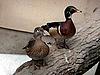 ID 3010981 | Zwei bunte Enten | Foto mit hoher Auflösung | CLIPARTO