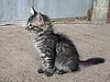 ID 3010989 | Graues Kätzchen | Foto mit hoher Auflösung | CLIPARTO