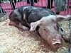 ID 3011004 | Świnia | Foto stockowe wysokiej rozdzielczości | KLIPARTO
