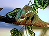 ID 3011027 | Kameleon | Foto stockowe wysokiej rozdzielczości | KLIPARTO