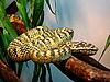 ID 3011040 | Żółty pstry snake | Foto stockowe wysokiej rozdzielczości | KLIPARTO