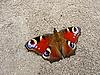 地面上的孔雀蝴蝶 | 免版税照片