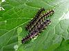 三毛虫 | 免版税照片