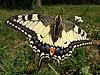 Schwalbenschwanz-Schmetterling auf der Blume | Stock Foto