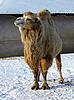 ID 3011923 | Kamel auf Schnee | Foto mit hoher Auflösung | CLIPARTO