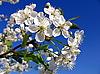 꽃이 만발한 벚꽃 나무 | Stock Foto