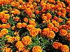 오렌지 금잔화의 배경 | Stock Foto