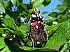 ID 3012448 | Admiral-Schmetterling auf dem Blatt | Foto mit hoher Auflösung | CLIPARTO