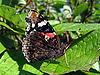 在叶片上的红海军蝴蝶 - 凡妮莎亚特兰大 | 免版税照片