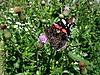 ID 3012451 | Admiral-Schmetterling auf der Blume | Foto mit hoher Auflösung | CLIPARTO