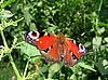 Tagpfauenauge Schmetterling auf Gras | Stock Foto