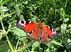 Бабочка павлиний глаз на траве | Фото