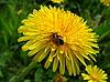 Biene auf Löwenzahn | Stock Foto