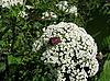 Клоп-щитник на белых цветах | Фото