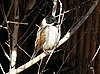 ID 3012478 | Птица овсянка | Фото большого размера | CLIPARTO