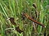 蜻蜓 | 免版税照片