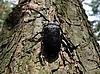 大黑甲虫 | 免版税照片