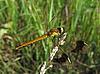大型蜻蜓 | 免版税照片