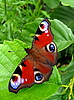 Tagpfauenauge Schmetterling auf Blatt | Stock Foto