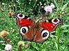 Красная бабочка павлиний глаз | Фото
