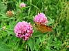 ID 3012589 | Mały motyl na kwiat koniczyny | Foto stockowe wysokiej rozdzielczości | KLIPARTO