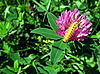 Kleine gelbe Raupe auf Kleeblume | Stock Foto