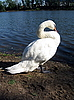매우 아름다운 하얀 백조 연못 근처입니다 | Stock Foto