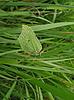 Зеленая бабочка | Фото