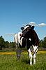 Czarna krowa w dziedzinie wypas | Stock Foto