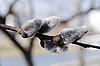 Weidenknospen im Frühling | Stock Foto