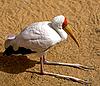 ID 3017871 | Żółtodzioba Stork | Foto stockowe wysokiej rozdzielczości | KLIPARTO
