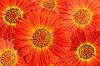 非洲菊花卉背景 | 免版税照片