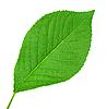 ID 3033090 | Grünes Blatt von Kirschbaum | Foto mit hoher Auflösung | CLIPARTO