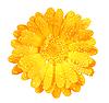 ID 3033276 | Kwiat nagietka z rosą | Foto stockowe wysokiej rozdzielczości | KLIPARTO