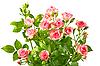 ID 3033307 | Bush z różowych róż i zielonych liści | Foto stockowe wysokiej rozdzielczości | KLIPARTO