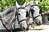 Konie w zaprzęgu na ulicy miasta | Stock Foto