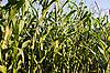 ID 3019042 | Maiskolben im Maisfeld | Foto mit hoher Auflösung | CLIPARTO