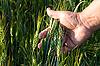 ID 3024342 | Wheat in men`s hand | Foto stockowe wysokiej rozdzielczości | KLIPARTO