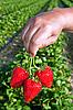 ID 3024435 | Frische Erdbeeren in Hand | Foto mit hoher Auflösung | CLIPARTO