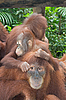 Orang-Utan-Familie | Stock Photo