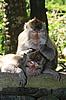 ID 3015413 | Affe pflegt anderen Affe | Foto mit hoher Auflösung | CLIPARTO