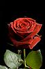 ID 3015467 | Czerwona róża z kropli wody na czarnym | Foto stockowe wysokiej rozdzielczości | KLIPARTO