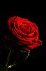 ID 3015475 | Czerwona róża z kropli wody samodzielnie na czarny | Foto stockowe wysokiej rozdzielczości | KLIPARTO