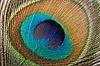 ID 3015597 | Pióropusz Peacock | Foto stockowe wysokiej rozdzielczości | KLIPARTO
